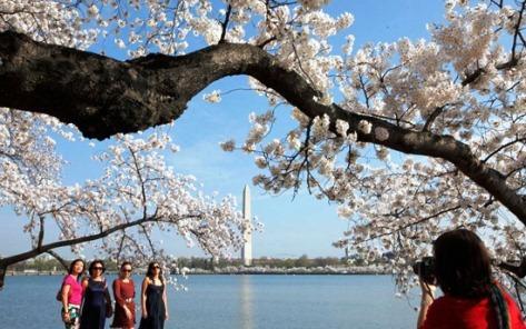 Washington-hoa-anh-dao