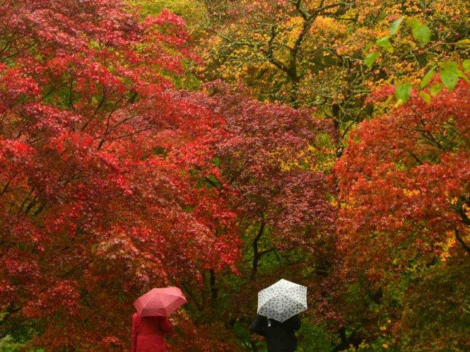 Du khách ngắm bộ sưu tập phong Nhật rực rỡ giữa mùa thu ở khu Old Arboretum - Ảnh: independent