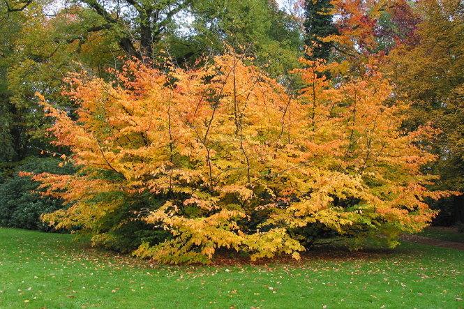 Một cây kim lũ mai Ba Tư (Parrotia persica) vàng cam nổi bật trên thảm cỏ xanh ở Westonbirt Arboretum - Ảnh: wp