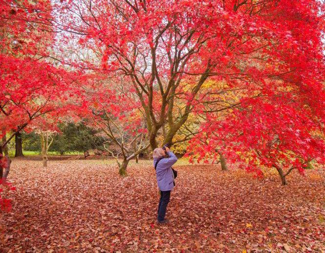 Du khách săn ảnh mùa thu ở Westonbirt Arboretum vào thu - Ảnh: express Du khách săn ảnh mùa thu ở Westonbirt Arboretum vào thu - Ảnh: express